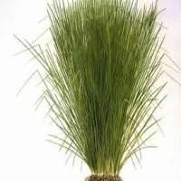 Vetiver Grass Importers