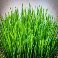 Barley Grass Manufacturers