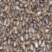 Castor Seeds Manufacturers