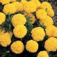 Hybrid Marigold Seeds Manufacturers