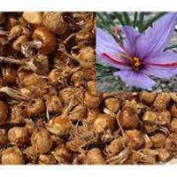 Saffron Bulbs Manufacturers