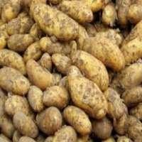 Tuber Vegetables Manufacturers