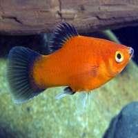 Aquarium Fish Manufacturers