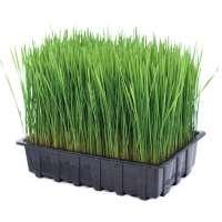 Wheatgrass Manufacturers