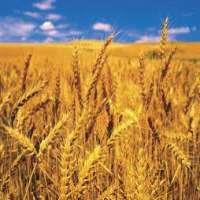 小麦 制造商