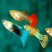 Guppy Fish Manufacturers