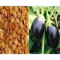 Brinjal Seeds Manufacturers