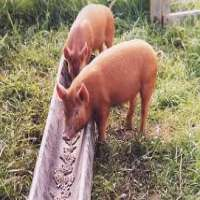Pig Feed Manufacturers