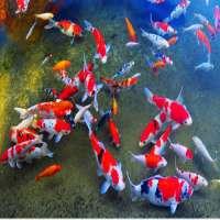 Koi Fish Manufacturers