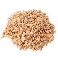小麦籽粒 制造商