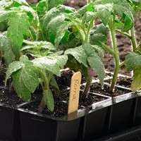 Tomato Seedlings Manufacturers
