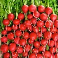 Radish Seeds Manufacturers