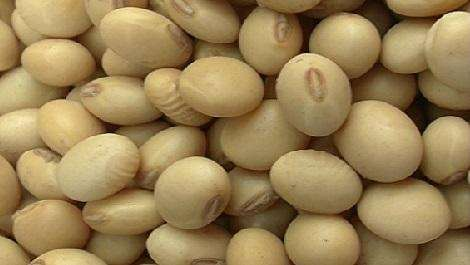 Harvest Bean Seed Manufacturers