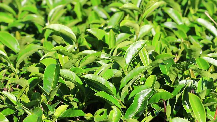 Harvest Green Tea Manufacturers