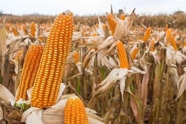 收割地玉米 制造商
