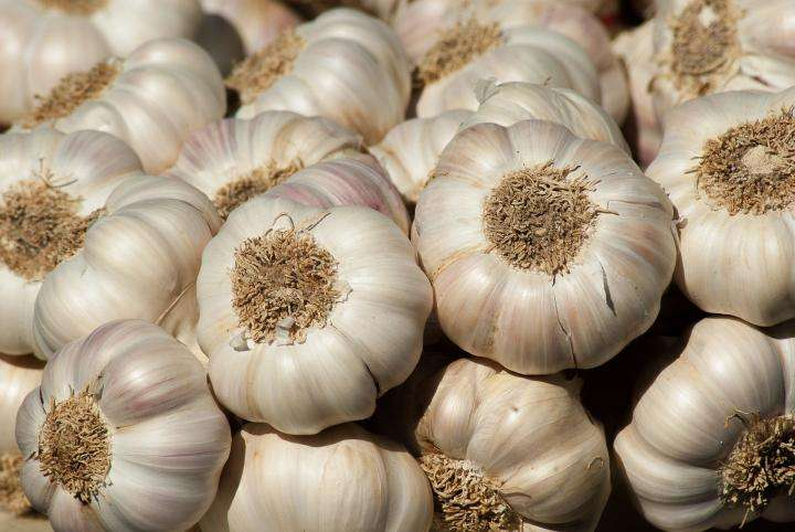 Harvesting Garlic Plant Manufacturers