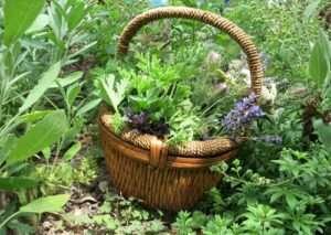 Harvesting Medicinal Herb Manufacturers