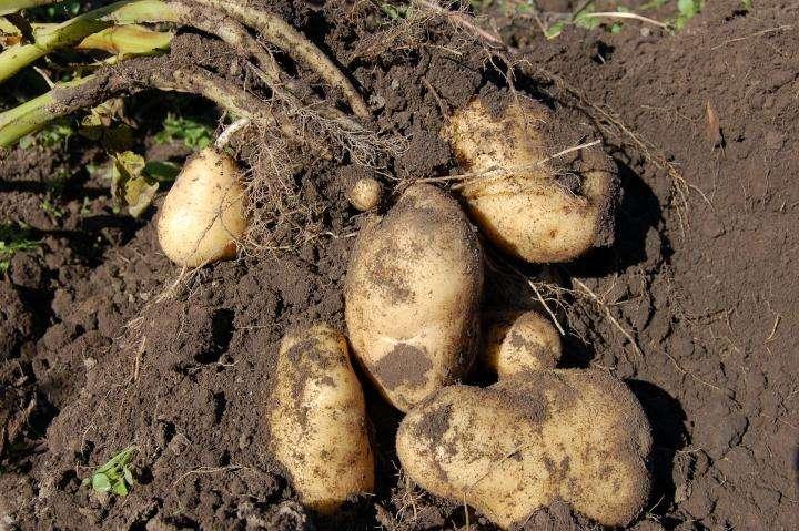 Harvesting Potato Plant Manufacturers