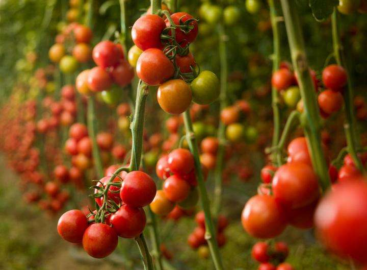 Harvesting Tomato Plant Manufacturers