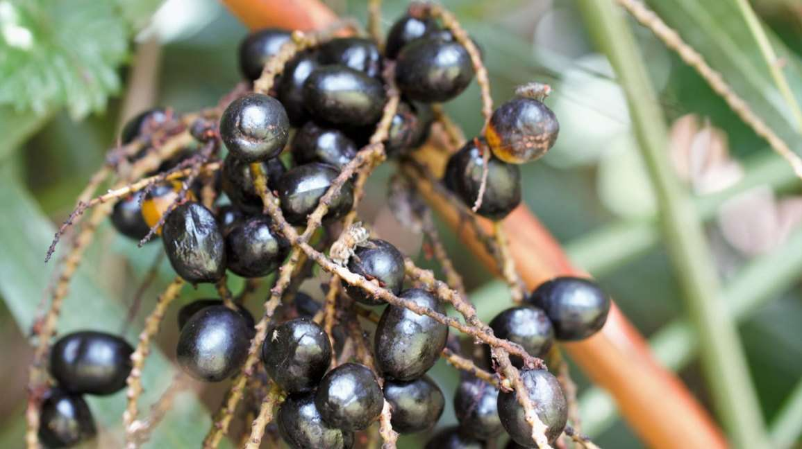 Saw Palmetto Berry Manufacturers