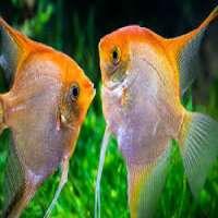 Angelfish Manufacturers