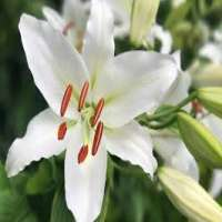 Lily Flower Manufacturers