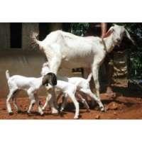 Malabari Goat Manufacturers
