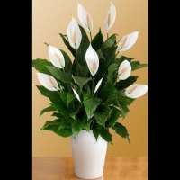 Spathiphyllum Plant Manufacturers