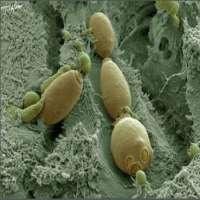 Saccharomyces Boulardii Manufacturers