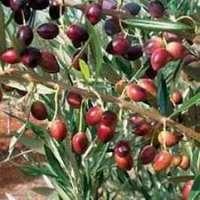 Olive Plant Manufacturers