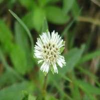 Bhringraj Herb Manufacturers