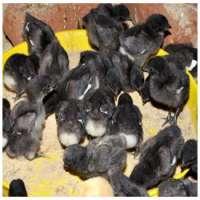 Kadaknath Chicks Manufacturers