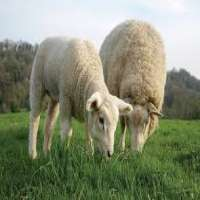 Sheep Feed Manufacturers