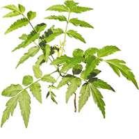 Neem Leaf Liquid Manufacturers