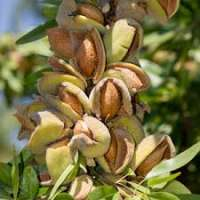 Almond Plant Manufacturers