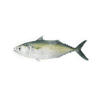 Indian Mackerel Manufacturers