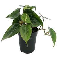 Philodendron Plant Manufacturers