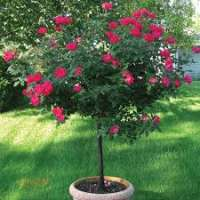 Rose Tree Manufacturers