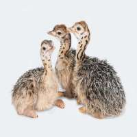 Ostrich chicks Manufacturers