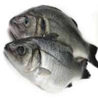 Sea Bass Manufacturers