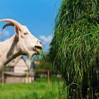 Goat Feed Manufacturers