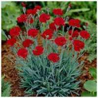 Carnation Plants Manufacturers