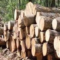 Gmelina Logs 制造商