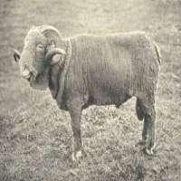 Rambouillet Sheep Manufacturers