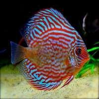 Discus Fish Manufacturers