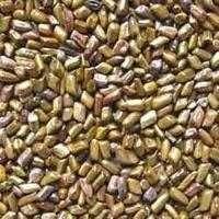 Aloe Vera Seeds Manufacturers