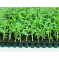 Turmeric Tissue Culture Plants Importers