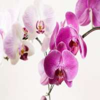 Orchids Manufacturers