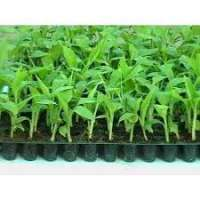 Banana Tissue Culture Plants Manufacturers