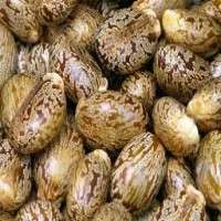 Castor Oil Seeds Manufacturers